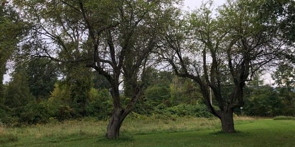two apple trees